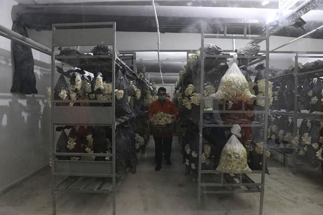 Mahkumlar Tarafından Hücrelerde Üretilen İstiridye Mantarı Satışı Başlandı